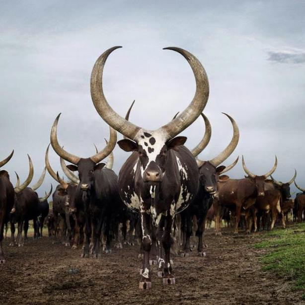 Dinka cows